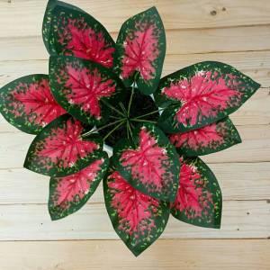 Decorative Plants : Sri Rezeki Leaves with Pot